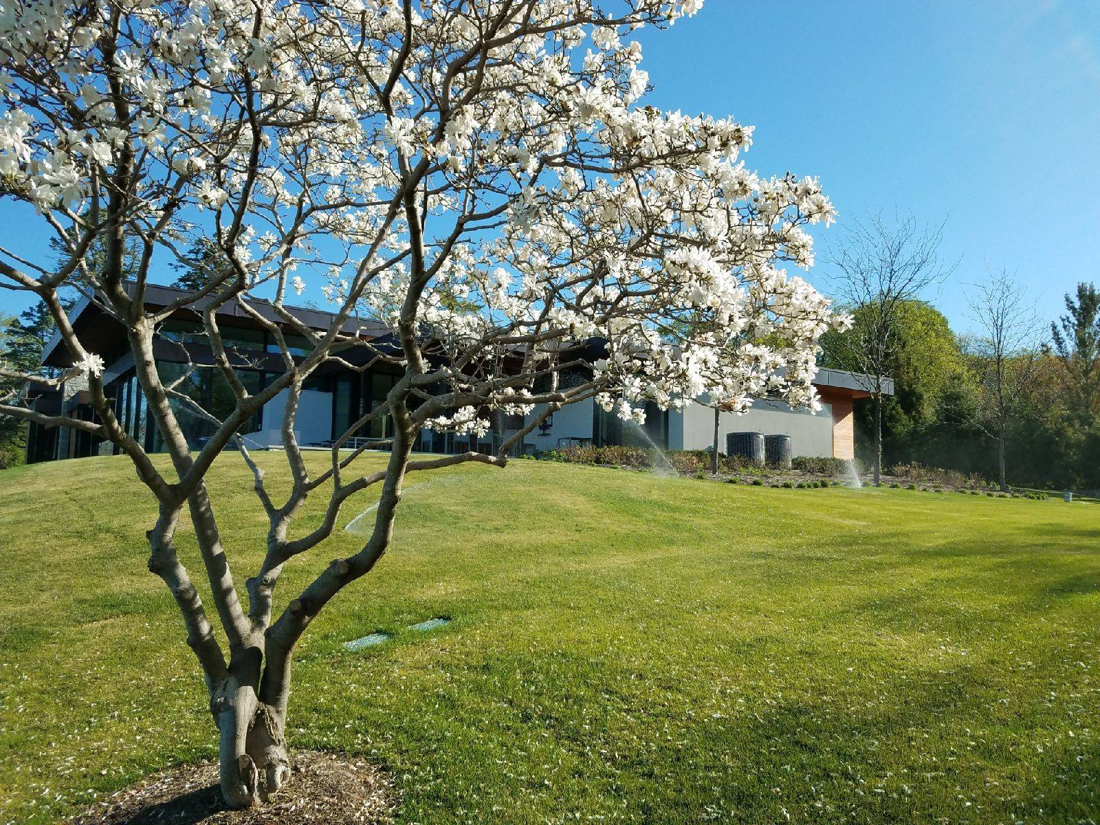 blossoming tree with sprinklers in background