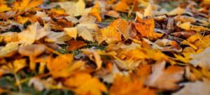 A blanket of dead leaves covering a lawn